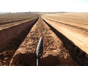 Rows are dug out for crop farming. Photo by Laura Rocoski